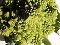 Broccoli DSCN4312.jpg