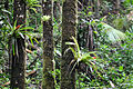 Bromeliads on tree trunks Luquillo EF (19083768770).jpg