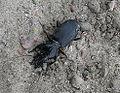 Broscus cephalotes3.jpg
