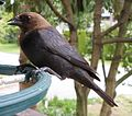 Brown-headed Cowbird (613080127).jpg