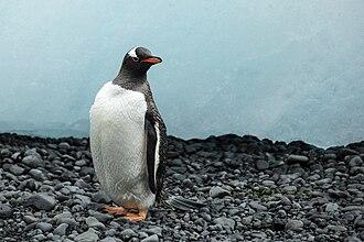 Gentoo penguin - Image: Brown Bluff 2016 Tabarin Peninsula–Gentoo penguin (Pygoscelis papua) 03