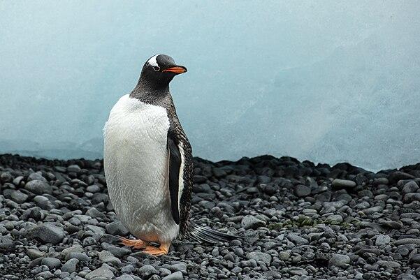 penguin - photo #37