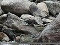 Brown Dipper (Cinclus pallasii) (15275241153).jpg