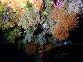 Bryozoans at Alphard Banks P4100501.jpg