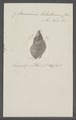 Buccinum testudineum - - Print - Iconographia Zoologica - Special Collections University of Amsterdam - UBAINV0274 085 06 0007.tif