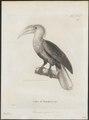 Buceros ruficollis - 1700-1880 - Print - Iconographia Zoologica - Special Collections University of Amsterdam - UBA01 IZ19300071.tif