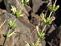 Buckskin keckiella, Keckiella rothrockii var. rothrockii (18337065871).jpg