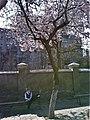 Bucuresti, Romania. Doi tineri, copacul inflorit si micul elev.jpg