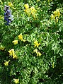 Bugle and yellow corydalis - geograph.org.uk - 171328.jpg