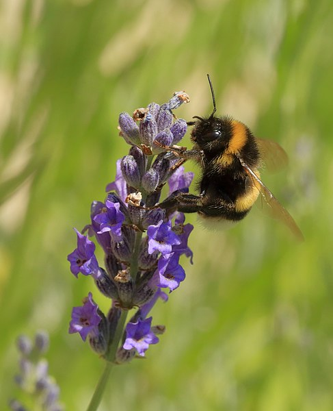 File:Bumblebee on Lavender Blossom.JPG
