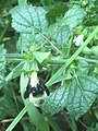 Bumblebee on Melissa flower.jpg