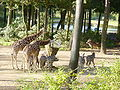 Burgers Zoo - zebras and giraffes.JPG