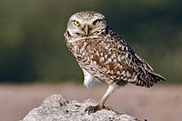 Burrowing Owl - natures pics