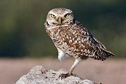 Burrowing Owl - natures pics