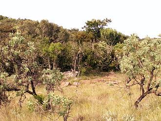 Bushveld - Bushveld near Naboomspruit, Limpopo.