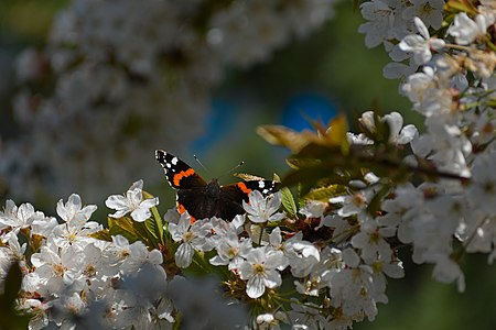 Butterfly-on-sour-cherry-tree.jpg