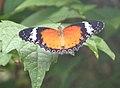 Butterfly Cyane 1 (2765784078).jpg