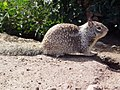 CA Ground Squirrel at burrow.jpg