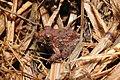 CEPF Burrowing Frog Fejervarya cepfi by Dr. Raju Kasambe DSCN0975 (11).jpg