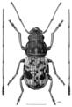 COLE Anthribidae Cerius triregius m.png