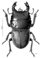 COLE Lucanidae Geodorcus ithaginus.png