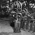 COLLECTIE TROPENMUSEUM Stekken van de koffieplant op het Coffee Research Station TMnr 20014488.jpg