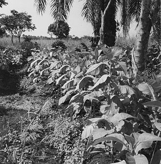 Agriculture in the Republic of the Congo - Tobacco plant