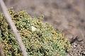 Cabbage White (23136034960).jpg