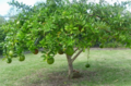 Calabash tree-trunkless.png