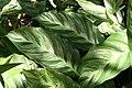 Calathea louisae 10zz.jpg