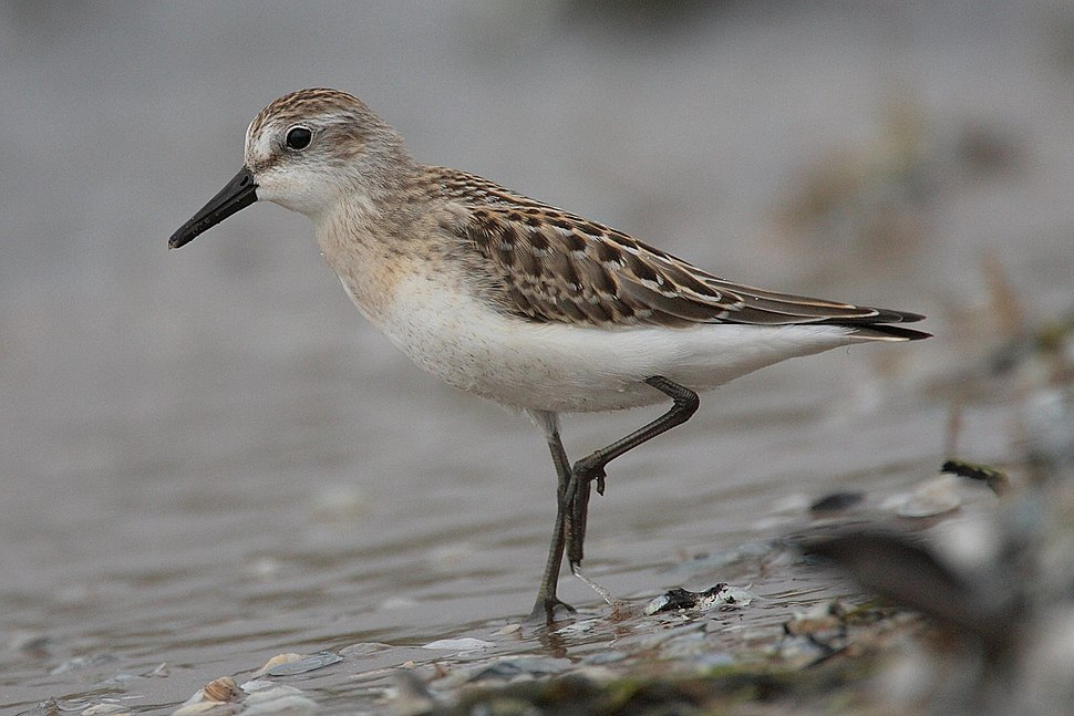 Small bird with long legs standing at water's edge
