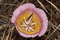 Calochortus plummerae - Flickr 005.jpg