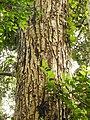 Calophyllum DSCN8633.JPG