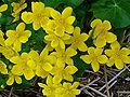 Caltha palustris 002.JPG