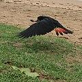 Calyptorhynchus banksii -Queensland -female landing-8.jpg