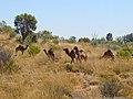Camel Farm - panoramio.jpg