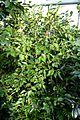 Camellia lutchuensis - Wilhelma Zoo - Stuttgart, Germany - DSC01911.jpg