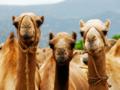 Camellos.png