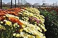 Campo de flores em Holambra 2.jpg