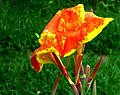 Cana Lily (not-a-real-lily) -- Canna.jpg
