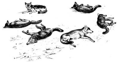 Canis lupus resting (illustration).jpg