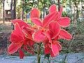 Canna indica Wild Canna Lily - Kanichar (1).jpg