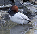 Canvasback (5371335654).jpg
