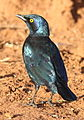 Cape Glossy Starling, Lamprotornis nitens at Marakele National Park, South Africa (14158284735).jpg