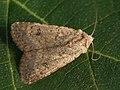 Caradrina clavipalpis - Pale mottled willow - Наземная совка четырёхточечная (39309673980).jpg