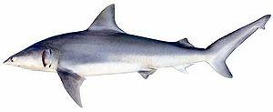 Carcharhiniformes - A finetooth shark, Carcharhinus isodon