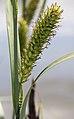 Carex acutiformis inflorescens (30).jpg
