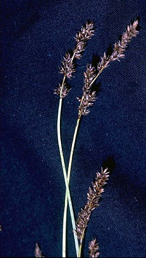 Description de l'image Carex diandra.jpg.