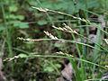 Carex digitata Kiiminki, Finland 16.06.2013 img 2.jpg