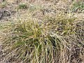 Carex humilis sl2.jpg